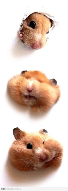 Cute and funny pet hamster