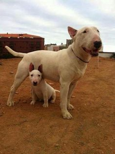 Uplifting So You Want A American Pit Bull Terrier Ideas. Fabulous So You Want A American Pit Bull Terrier Ideas. Chien Bull Terrier, British Bull Terrier, Mini Bull Terriers, Miniature Bull Terrier, Bull Terrier Puppy, English Bull Terriers, Baby Animals, Cute Animals, Puppies And Kitties
