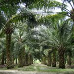 Indonesische Bankenaufsicht will Palmöl Kredite kontrollieren
