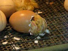 Kuikentje kruipt uit het ei