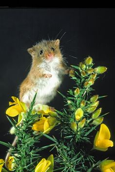 Harvest Mouse on gorse. Phil Mclean