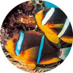Pez payaso del mar Rojo (o de dos bandas)