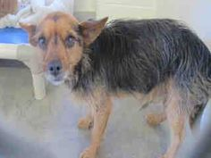 A4731552 I'm an approximately 1 year, 6 month old male terrier, not yet neutered. I have been at the Carson Animal Care Center since July 8, 2014. You can visit me at my temporary home at C204. https://www.facebook.com/171850219654287/photos/a.172032662969376.1073741830.171850219654287/285383894967585/?type=3&theater