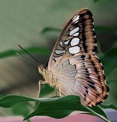 Brown Clipper (Parthanos sylvia)