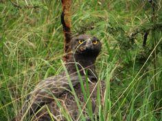 Scary eyes - a martial in Saadani Scary Eyes, Bee Eater, Stork, Heron, Tanzania, Eagles, Martial, National Parks, Coast