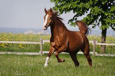 "Looks alot like ""Knothead"" my fav barrel horse, part Arabian, beautiful and the very best!"