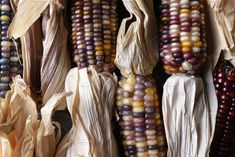 #flint corn cobs with husks  High angle horizontal closeup shot of a group of flint corn cobs with husks. Also known as Indian Corn Calico Corn and Ornamental Corn.