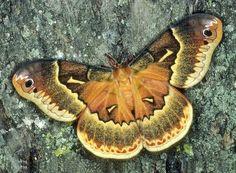 Callosamia securifera female Florida