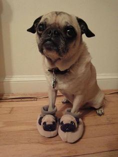 Pug with pug slippers.. YOU'RE WELCOME!!!!