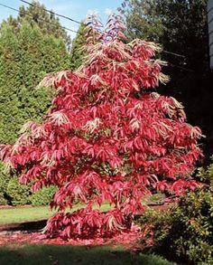 oxydendrum arboreum-fall