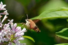 Clear wing hummingbird moth in my lilacs