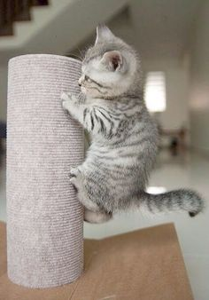 Look! Ive nearly made it to the top! How adorable is this little kitten?