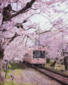 A train in Japan matches the colors of cherry blossoms around it