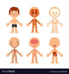 Cartoon boy body anatomy human biology systems vector image on VectorStock Cartoon Cartoon, Cartoon Girl Drawing, Cartoon Drawings, Human Body Crafts, Body Preschool, Human Body Systems, Body Anatomy, Yoga For Kids, Kids Education