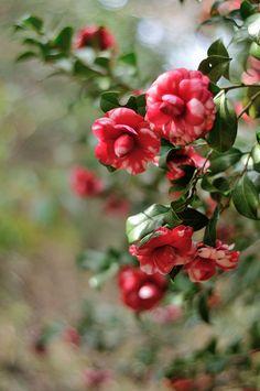 Camellia japonica- possibly 'Gigantea'?