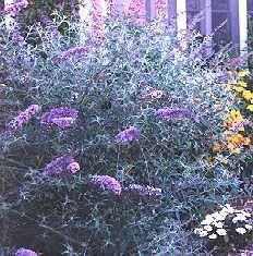Budelia, Budleia, Budleja, Arbusto de las mariposas, Arbusto de la mariposa, Flor de las mariposas, Lilo de verano, Lila de verano, Baileya.