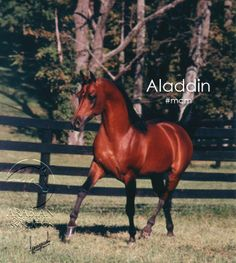 Today's #MCM is the legendary Arabian stallion, Aladdin. Both a Swedish and US National Champion, Aladdin sired 1211 progeny, including 391 champions, 24 national champions in performance and halter and 71 National winners. #ArabianHorses #ArabianHorseAssociation