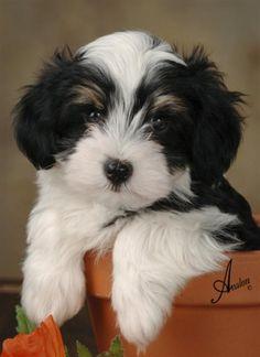havanese dogs - Google Search