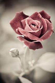 خلفيات ايفون ورود Iphone Wallpapers 4k Flower Background Iphone Beautiful Roses Wallpaper Iphone Roses