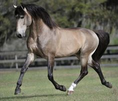 Breed Focus: Portugal: The Lusitano Horse, Garrano and Sorraia Most Beautiful Animals, Beautiful Horses, Beautiful Creatures, Animals And Pets, Cute Animals, Majestic Horse, All The Pretty Horses, Horse Pictures, Horse Breeds