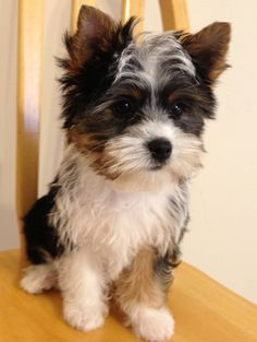 29 Best Parti Yorkies Images Yorkie Puppy Cubs Doggies