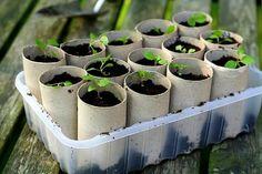 Rolos de papel higiênico podem ser reutilizados como sementeiras
