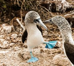 Blue Footed Boobie Mating Ritual | Photograph by Valerie Saidman | NATGEO