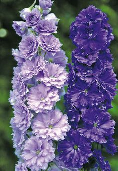 Delphinium Misty Mauves... A full range of colors from purples to light mauve. Attractive to butterflies and hummingbirds. Misty Mauves, from the New Millennium Series, is a New Zealand Hybrid bred for excellent form, strong stems and vigorous growth. Frilly double flowers with improved heat and humidity tolerance.