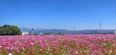 19  Oct. 11:14 福岡県甘木市のキリンコスモス園は今週いっぱいが見ごろのようです。