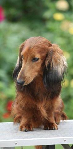 Dachshund – Friendly and Curious Dachshund Breed, Long Haired Dachshund, Dachshund Love, Best Apartment Dogs, Dashund, Miniature Dachshunds, Most Popular Dog Breeds, Weenie Dogs, Beautiful Dogs