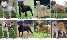 Staffordshire Bull Terrier, Akita, Rottweiler, Pitbulls, Pets, Html, Google, House, Animals And Pets
