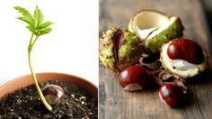 Guide: Så enkelt odlar du kastanj i kruka Så odlar du kastanj i kruka Vegetable Garden, Garden Plants, Indoor Plants, Organic Gardening, Gardening Tips, Indoor Gardening, Quick Garden, Growing Greens, Rooftop Garden