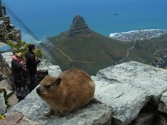 Dassie, or Rock Hyrax, on Table Mountain, Cape Town. Who has seen them before? Their closest relative is . the elephant! Table Mountain, African Animals, Brown Bear, Cape Town, Storyboard, Elephant, Spaces, Mountains, Rock
