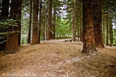 Bosque de secuoyas en Cabezón de la Sal #Cantabria #Spain