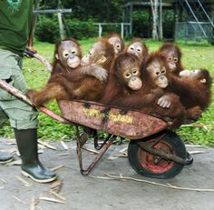 Wheelbarrow full of orangutans. My absolute favorite animals in this world.