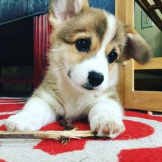 Corgis of Instagram