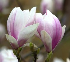Magnolia Love JAPANESE