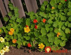 Nasturzio comune - Tropaeolum majus L. All Plants, Summer Garden, Herbs, Terrace, Vases, Garden, Garden Projects, Plants, Growing Up