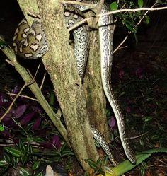 Carpet Python - Nerang, Gold Coast Hinterland, Queensland, Australia Bird Aviary, Wild Birds, Go Outside, Gold Coast, Python, Wildlife, Carpet, Queensland Australia, Lizards