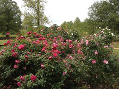 Rose Rosette Disease. What To Do When You Get It.