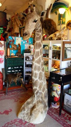 Annnnnd, my taxidermy obsession continues! Antique Taxidermy Giraffe from mammothcurios via Etsy.