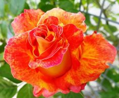 Beautiful Colored Rose