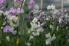 """sweet peas. mix colors (inquire about individual colors) white, lavender, light pink. medium/long stems (10-16"""") $10.00/bunch"""