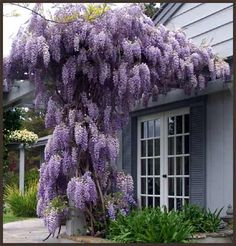 Wisteria, woody vine that climbs by twining stems, blue, lavender or white fragrant flowers in spring, sun or part shade, ample water during growing season, may be slow to establish