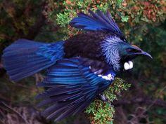 NZ native tui Pretty Birds, Beautiful Birds, Tui Bird, Thailand Tattoo, Kiwiana, Wild Creatures, Reptiles And Amphibians, Sea Birds, Eye Art