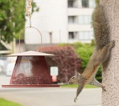 An eastern gray squirrel in British Columbia, Canada. It is reaching out for a bird feeder, while clinging upside down to a rough surface.