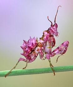 young orchid mantis ~ Hymenopus coronatus, also called H. bicornis, is a mantis from the rain forests of southeast Asia. It is known by various common names including walking flower mantis and (pink) orchid mantis. It is one of several species known as flower mantises from their resemblance and behavior.