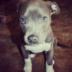 Its on my bucketlist to save a pitbull one day. Love blue nosed pitbulls