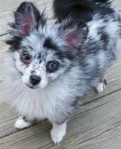 Blue Merle Pom Pup