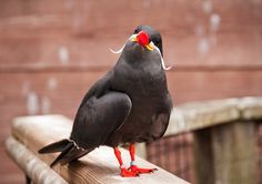 The Inca tern (Larosterna inca) is a tern in the family Laridae. It is the only member of the genus Larosterna.  This uniquely plumaged bird breeds on the coasts of Peru and Chile, and is restricted to the Humboldt Current.